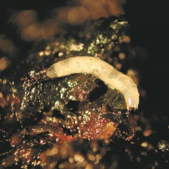 mouche des terreaux